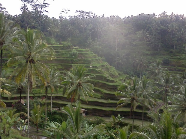 Rice Field  14
