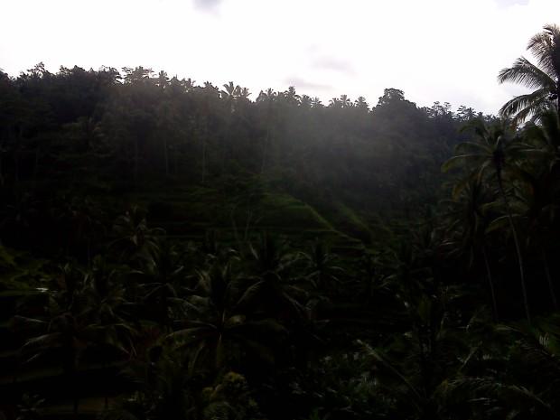 Rice Field  15
