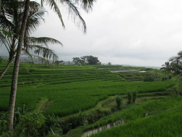 Rice Field  07