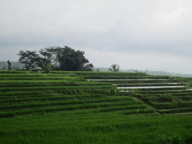 Rice Field  08