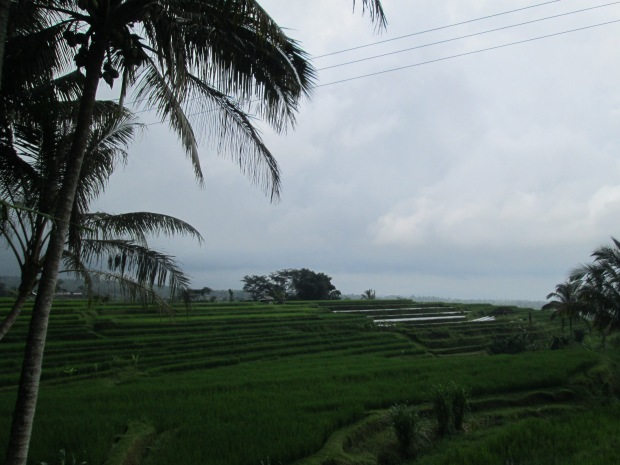 Rice Field  09