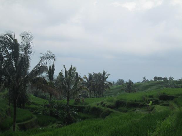 Rice Field  10