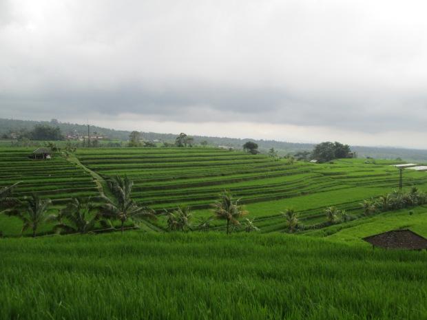 Rice Field  11