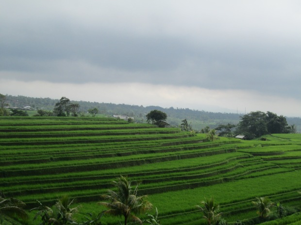 Rice Field  12