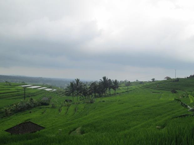 Rice Field  13